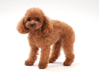 エムドッグス,動物プロダクション,ペットモデル,ペットタレント,モデル犬,タレント犬,トイプードル,キャンディ