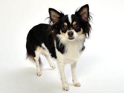 エムドッグス,動物プロダクション,ペットモデル,ペットタレント,モデル犬,タレント犬,チワワ,ニコル