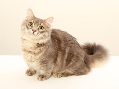 エムドッグス,動物プロダクション,ペットモデル,ペットタレント,モデル猫,タレント猫,マンチカン,しじみ