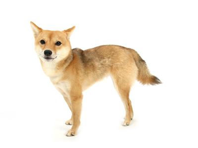 エムドッグス,動物プロダクション,ペットモデル,ペットタレント,モデル犬,タレント犬,柴犬,信乃,しの