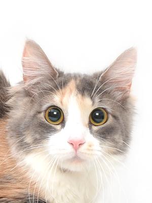 エムドッグス,動物プロダクション,ペットモデル,ペットタレント,モデル猫,タレント猫,メインクーン,めい