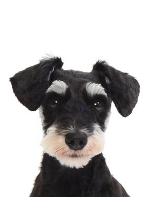 エムドッグス,動物プロダクション,ペットモデル,ペットタレント,モデル犬,タレント犬,ミニチュアシュナウザー,ロミー