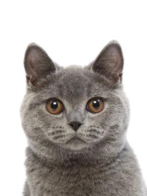 エムドッグス,動物プロダクション,ペットモデル,ペットタレント,モデル猫,タレント猫,ブリティッシュショートヘア,ぶりすけ