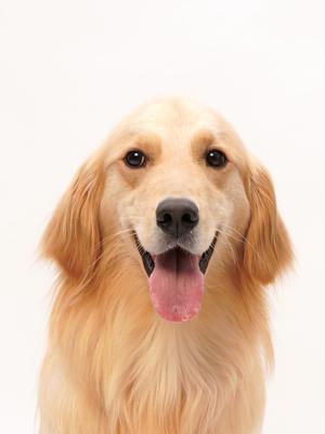 エムドッグス,動物プロダクション,ペットモデル,ペットタレント,モデル犬,タレント犬,ゴールデンレトリーバー,Kira(キラ)