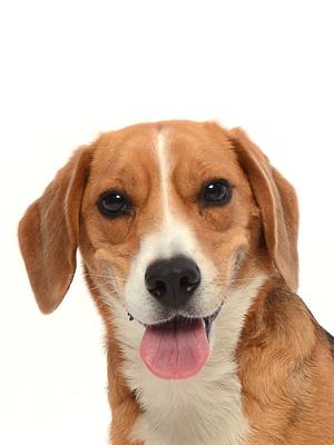 エムドッグス,動物プロダクション,ペットモデル,ペットタレント,モデル犬,タレント犬,ビーグル,ベル
