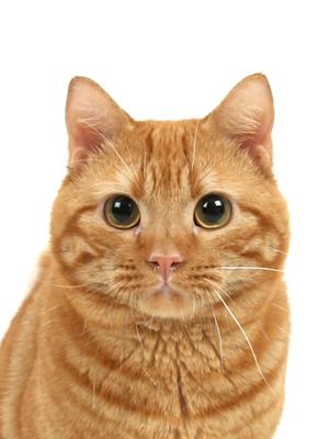 エムドッグス,動物プロダクション,ペットモデル,ペットタレント,モデル猫,タレント猫,アメリカンショートヘア,ヤマト