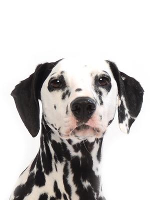 エムドッグス,動物プロダクション,ペットモデル,ペットタレント,モデル犬,タレント犬,ダルメシアン,Sereno(セレーノ)