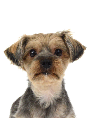 エムドッグス,動物プロダクション,ペットモデル,ペットタレント,モデル犬,タレント犬,ヨークシャーテリア,ポン太