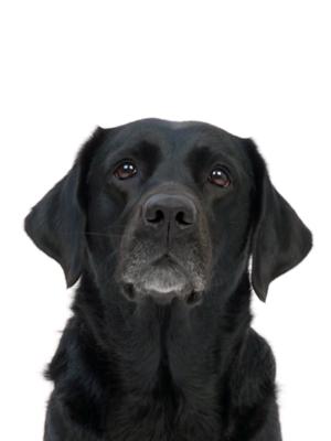 エムドッグス,動物プロダクション,ペットモデル,ペットタレント,モデル犬,タレント犬,ラブラドールレトリーバー,グロリア