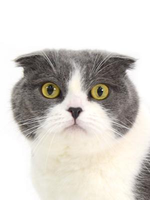 エムドッグス,動物プロダクション,ペットモデル,ペットタレント,モデル猫,タレント猫,スコティッシュフォールド,銀太郎,ぎんたろう