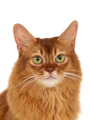 エムドッグス,動物プロダクション,ペットモデル,ペットタレント,モデル猫,タレント猫,ソマリ,ロマネコンティ