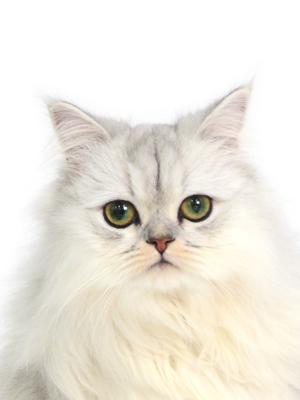 エムドッグス,動物プロダクション,ペットモデル,ペットタレント,モデル猫,タレント猫,ペルシャ,Melty,メルティ