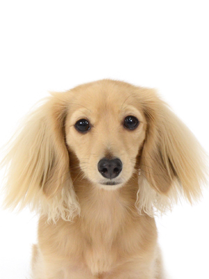 エムドッグス,動物プロダクション,ペットモデル,ペットタレント,モデル犬,タレント犬,カニンヘンダックスフンド,ラナ