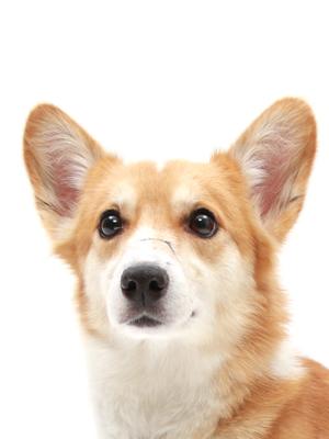 エムドッグス,動物プロダクション,ペットモデル,ペットタレント,モデル犬,タレント犬,ウェルッシュコーギー,クレア