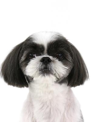 エムドッグス,動物プロダクション,ペットモデル,ペットタレント,モデル犬,タレント犬,シーズー,ぺぺ