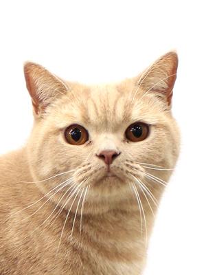 エムドッグス,動物プロダクション,ペットモデル,ペットタレント,モデル猫,タレント猫,ブリティッシュショートヘア,トフィー