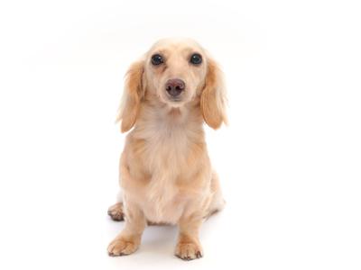 エムドッグス,動物プロダクション,ペットモデル,ペットタレント,モデル犬,タレント犬,カニンヘン・ダックスフンド,ウェンディ