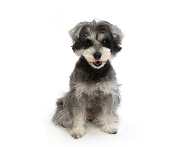エムドッグス,動物プロダクション,ペットモデル,ペットタレント,モデル犬,タレント犬,ミニチュアシュナウザー,メッチェンバウム,