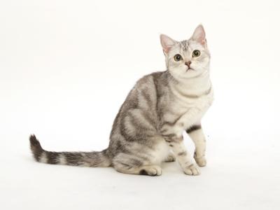 エムドッグス,動物プロダクション,ペットモデル,ペットタレント,モデル猫,タレント猫,アメリカンショートヘア,レイチェル