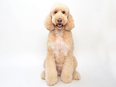 エムドッグス,動物プロダクション,ペットモデル,ペットタレント,モデル犬,タレント犬,ゴールデンドゥードル,セブン,
