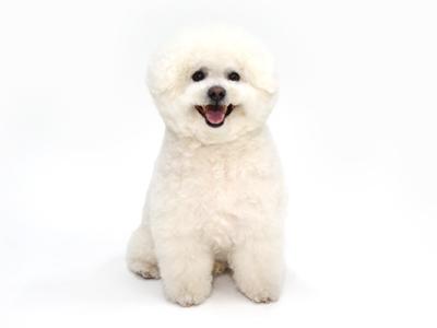 エムドッグス,動物プロダクション,ペットモデル,ペットタレント,モデル犬,タレント犬,ビションフリーゼ,PEARL,パール,ぱーる