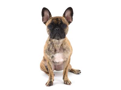 エムドッグス,動物プロダクション,ペットモデル,ペットタレント,モデル犬,タレント犬,フレンチブルドッグ,小春
