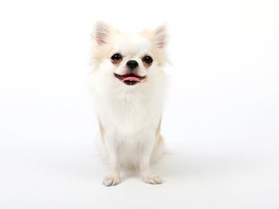 エムドッグス,動物プロダクション,ペットモデル,ペットタレント,モデル犬,タレント犬,チワワ,にこる,