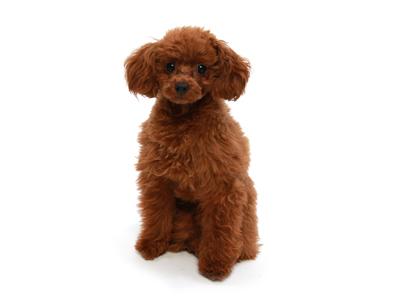 エムドッグス,動物プロダクション,ペットモデル,ペットタレント,モデル犬,タレント犬,トイプードル,モカ,