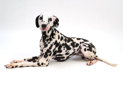 エムドッグス,動物プロダクション,ペットモデル,ペットタレント,モデル犬,タレント犬,ダルメシアン,Sereno,セレーノ