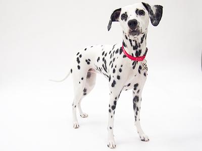 エムドッグス,動物プロダクション,ペットモデル,ペットタレント,モデル犬,タレント犬,ダルメシアン,アン