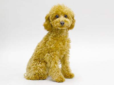 エムドッグス,動物プロダクション,ペットモデル,ペットタレント,モデル犬,タレント犬,トイプードル,ナナコ