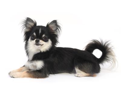 エムドッグス,動物プロダクション,ペットモデル,ペットタレント,モデル犬,タレント犬,チワワ,MONA