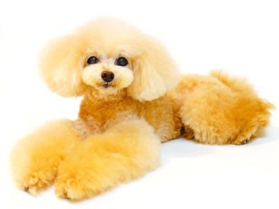 エムドッグス,動物プロダクション,ペットモデル,ペットタレント,モデル犬,タレント犬,トイプードル,ミニー