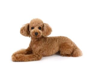 エムドッグス,動物プロダクション,ペットモデル,ペットタレント,モデル犬,タレント犬,トイプードル,ナナコエムドッグス,動物プロダクション,ペットモデル,ペットタレント,モデル犬,タレント犬,トイプードル,ナナコ
