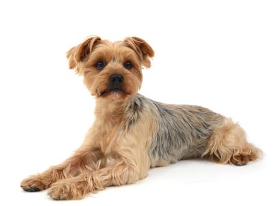 エムドッグス,動物プロダクション,ペットモデル,ペットタレント,モデル犬,タレント犬,ヨークシャーテリア,タロウ