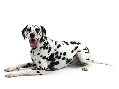エムドッグス,動物プロダクション,ペットモデル,ペットタレント,モデル犬,タレント犬,ダルメシアン,Manu,マヌ