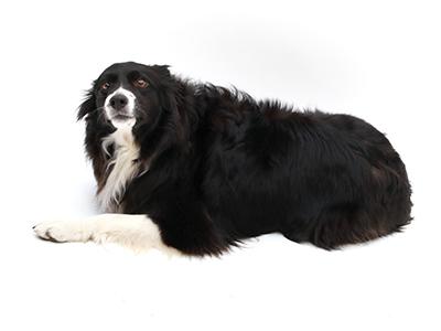 エムドッグス,動物プロダクション,ペットモデル,ペットタレント,モデル犬,タレント犬,ボーダーコリー,テト