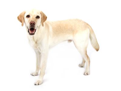 エムドッグス,動物プロダクション,ペットモデル,ペットタレント,モデル犬,タレント犬,ラブラドールレトリーバー,コハク