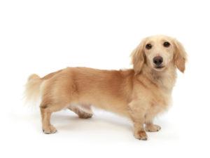 エムドッグス,動物プロダクション,ペットモデル,ペットタレント,モデル犬,タレント犬,ミニチュアダックスフンド,のえる