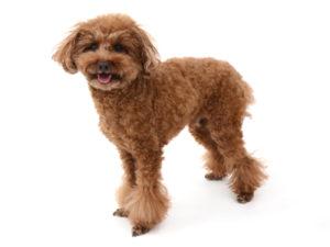エムドッグス,動物プロダクション,ペットモデル,ペットタレント,モデル犬,タレント犬,トイプードル,茶太,ちゃた