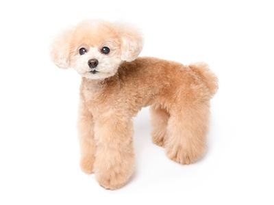エムドッグス,動物プロダクション,ペットモデル,ペットタレント,モデル犬,タレント犬,トイプードル,プリン