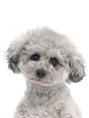 エムドッグス,動物プロダクション,ペットモデル,ペットタレント,モデル犬,タレント犬,トイプードル,たまえ,