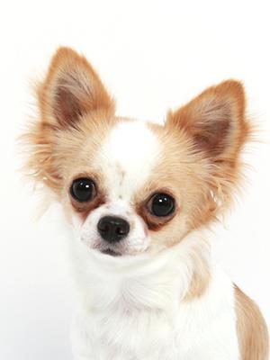 エムドッグス,動物プロダクション,ペットモデル,ペットタレント,モデル犬,タレント犬,チワワ,くぅ,