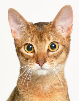 エムドッグス,動物プロダクション,ペットモデル,ペットタレント,モデル猫,タレント猫,アビシニアン,あや,