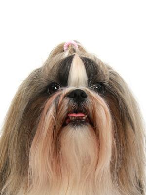 エムドッグス,動物プロダクション,ペットモデル,ペットタレント,モデル犬,タレント犬,シーズー,ぱある,