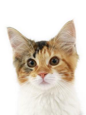 エムドッグス,動物プロダクション,ペットモデル,ペットタレント,モデル猫,タレント猫,メインクーン,もち