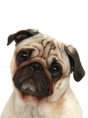 エムドッグス,動物プロダクション,ペットモデル,ペットタレント,モデル犬,タレント犬,パグ,吉四六(きっちょむ)