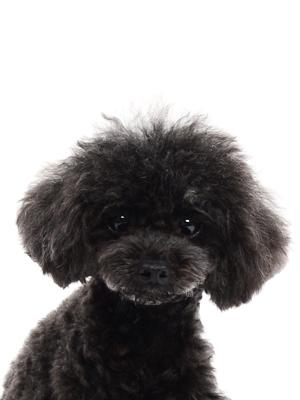 エムドッグス,動物プロダクション,ペットモデル,ペットタレント,モデル犬,タレント犬,トイプードル,ココア,