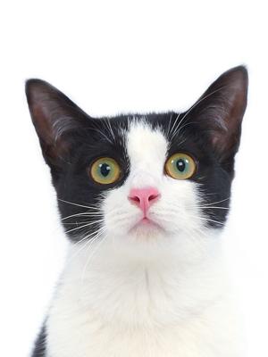 エムドッグス,動物プロダクション,ペットモデル,ペットタレント,モデル猫,タレント猫,MIX猫,心音,ここね