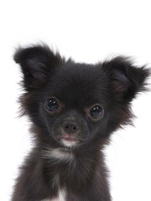 エムドッグス,動物プロダクション,ペットモデル,ペットタレント,モデル犬,タレント犬,チワワ,かりん糖